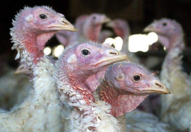 US State finds third bird flu infection in commercial poultry