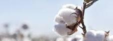 Karachi Cotton Association prices