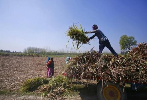 Workers unload stacks of sugarcane on a farmland at Sisola Khurd village in Uttar Pradesh, March 24, 2015. REUTERS
