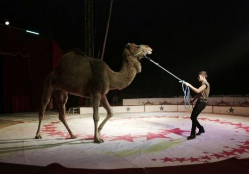 A trainer moves a dromedary during a show at the Cedeno Hermanos Circus in Mexico City March 9, 2015.