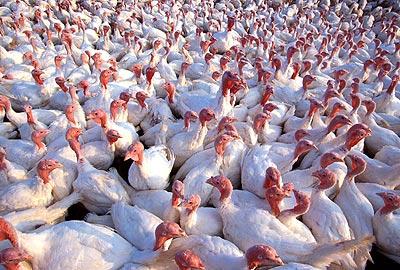USDA reports virulent strain of avian flu in Kansas poultry