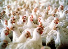 Japan partly lifts US, Canada poultry ban after bird flu