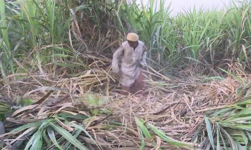 Sindh growers demand sugarcane price equal to Punjab, Khyber Pakhtunkhwa