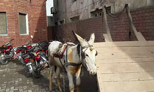 Donkey 'held' for hitting a vehicle of DPO squad in Chiniot