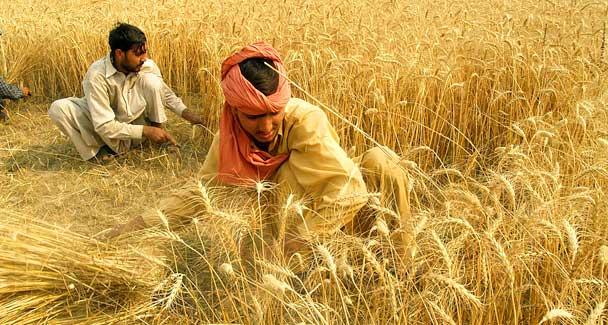 Farmers still worried after wheat crop reaches 33,000 metric tonnes