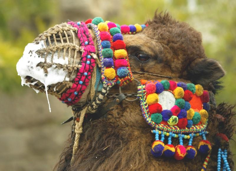 Health experts zero in on camels to fight deadly MERS virus