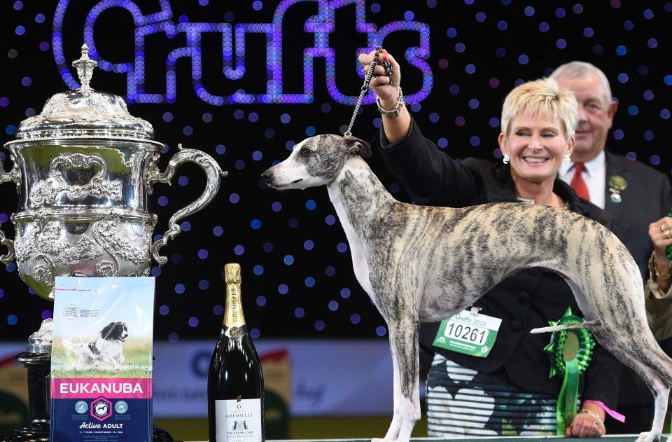 dog breed whippet named tease wins best in show at crufts