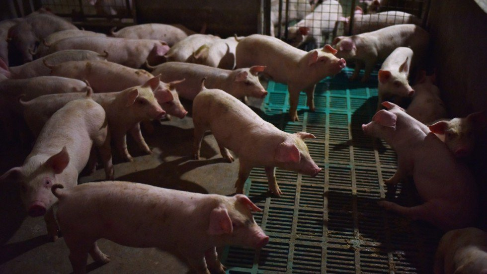 China reports fifth case of African swine fever