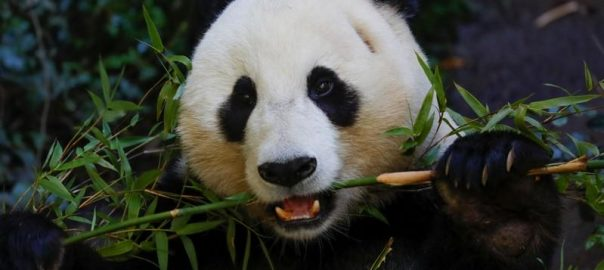San Diego Zoo Giant Giant Pandas china loan from china