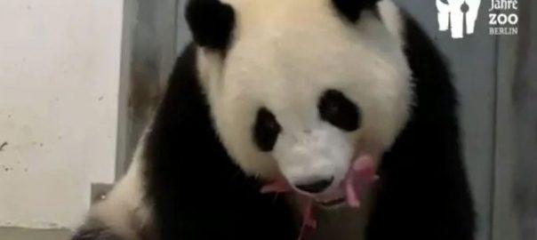 Giant-Panda-cubs