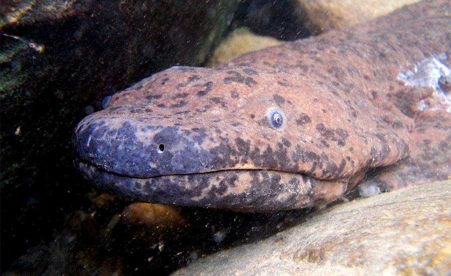 South-China-salamander